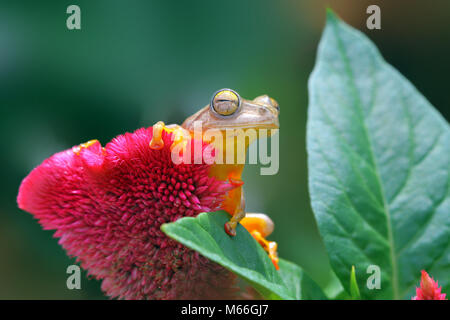 Harlequin tree frog on a flower, Indonesia - Stock Photo