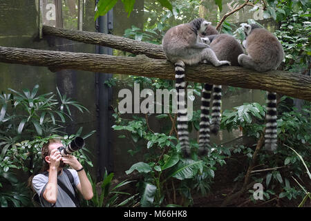 Photographer making photo of Ring-tailed lemurs (Lemur catta) in Singapore Zoo - Stock Photo