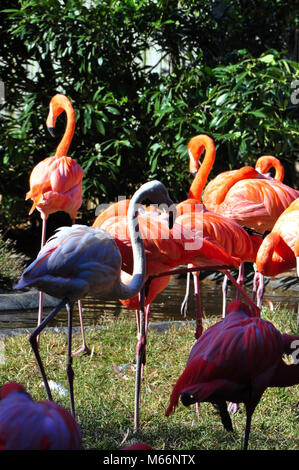 Group of Flamingos at Baltimore Zoo - Stock Photo