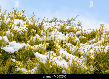 Snow settled on conifer bush in Winter in the UK. - Stock Photo