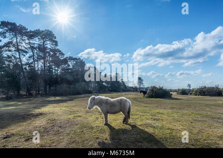 White Shetland pony on a sunny winter day in the New Forest, Hampshire, UK - Stock Photo