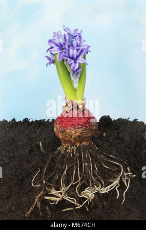 Flowering hyacinth bulb in soil showing roots against a hazy blue sky - Stock Photo