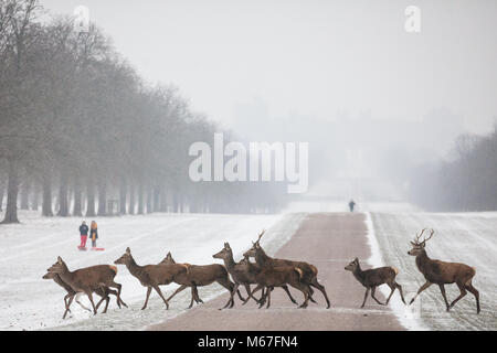Windsor, UK. 1st March, 2018. Red deer cross the Long Walk in a snow-coated Windsor Great Park. Credit: Mark Kerrison/Alamy - Stock Photo
