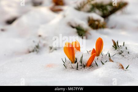 BUDAPEST, HUNGARY - MARCH 1: Crocus flowers try to survive the cold weather conditions at a public park of Ferencvaros - Stock Photo