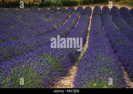 Panoramic view of lavender flowers fields under sunny blue sky, near the village of Valensole. Located in the Provence - Stock Photo