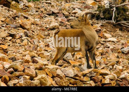 Capra Pyrenaica hispánica, goat, mountain, wild animals, - Stock Photo