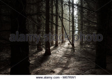 Spooky forest, northumberland, England - Stock Photo