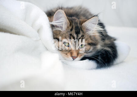 Sneaky kitten hiding behind a white blanket. Cute, Siberian brown and black kitten with long hair. Siberian cats - Stock Photo
