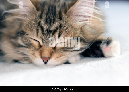 Sweet brown tabby kitten sleeping on a white blanket.. Purebred Siberian Forest Cats are thought to cause fewer - Stock Photo
