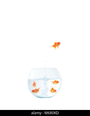 Gold fish jumping out of the fishbowl on the white background - Stock Photo