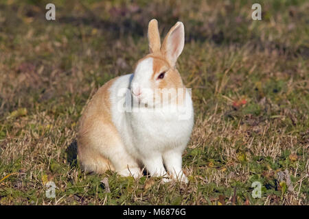 little white and red rabbit, piebald , leporidae - Stock Photo