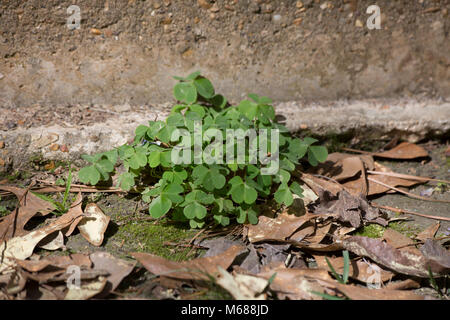 Clump of green, three leaf clovers growing near a cement foundation - Stock Photo
