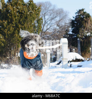 Dog dressed in a winter coat is fetching a stick. Its hairy muzzle is full of snow. An old cemetery and treetops - Stock Photo