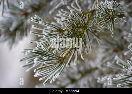 Hoar frost on needles of a Scots or Scotch pine. - Stock Photo