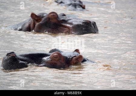 Hippos in river Zambezi - Stock Photo