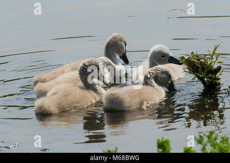 Five Cygnets swimming on the Fish Pond at Harewood House,West Yorkshire,England,UK. - Stock Photo