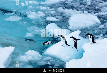 A group of Adelie Penguins form a line to jump off an ice flow and off into the waters of Antarctic Sound by Joinville - Stock Photo