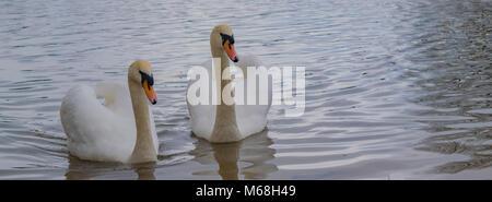 White swans - Stock Photo