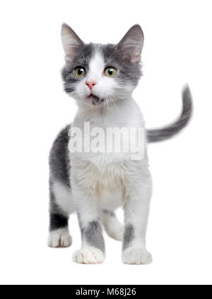 Seriously looking kitten of grey and white color isolated on white - Stock Photo