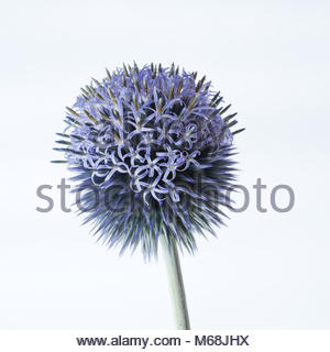 Globe thistle on white background - Stock Photo