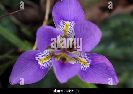Blooms of the Algerian iris (Iris unguicularis), in a winter garden, February, UK - Stock Photo