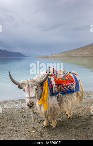 Himalayan Yak at Pangong Lake in Ladakh, India - Stock Photo
