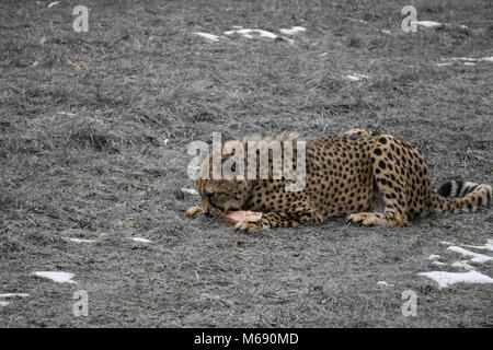 Cheetah feeding in captivity with desaturated background - Stock Photo