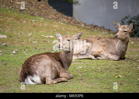 Deer grazing around the Tōdai-ji Buddhist temple complex that was once one of the powerful Seven Great Temples, - Stock Photo