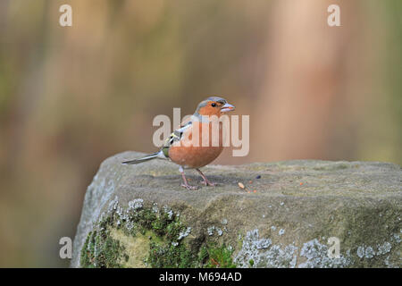 Adult male Chaffinch, Fringilla coelebs eating seed on a moss covered stone, England, UK. - Stock Photo