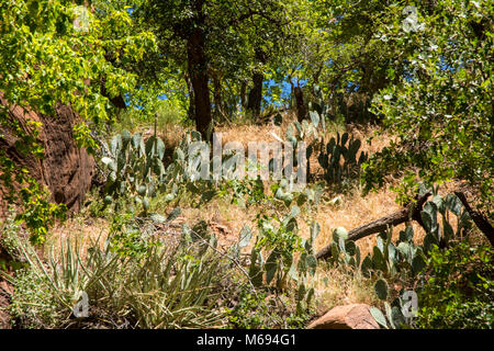 Trees and Shrubs and Cliffs at Zion. - Stock Photo