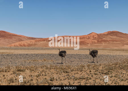 Ostrich walks in the desert of Sossusvlei, Namibia, with red dunes. - Stock Photo