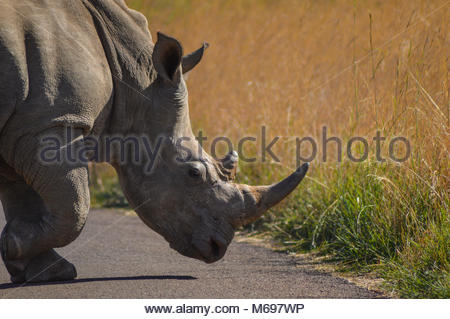 White Rhino crossing the road in Pilanesberg game reserve - Johannesburg - Stock Photo