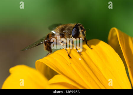Macro shot of yellow flower stock photo 172815083 alamy macro shot of a bee on the petal of a yellow flower stock photo mightylinksfo