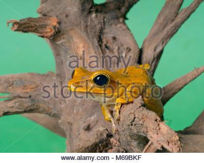 Panamanian golden frog Atelopus zeteki Captive Pet - Stock Photo