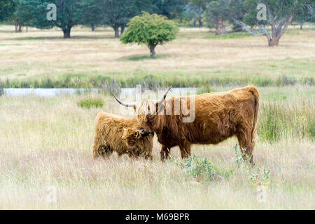 Bull with a Calf - Stock Photo