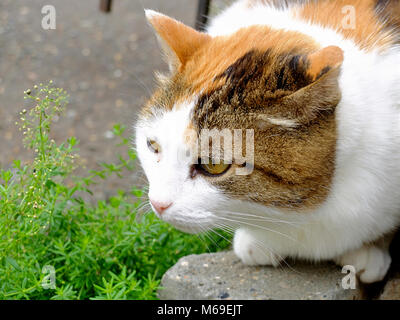 Old serious multi color ginger, white, black cat close-up outdoor portrait - Stock Photo