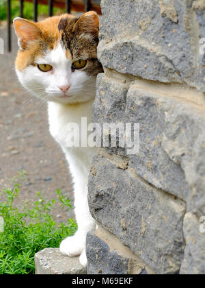 Old serious multi color ginger, white, black cat looking around the corner - Stock Photo