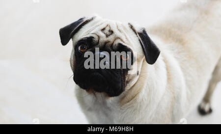 Isolated pug looking forward with the head tilted to the side. Expressive dog, pity face. - Stock Photo