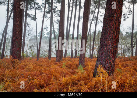 Pine wood forest. Le Gers Department, New Aquitaine, Midi Pyerenees. France Europe - Stock Photo