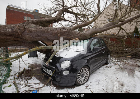 Gorleston-On-Sea, Norfolk. 1st March 2018. UK Weather. A parked unoccupied car gets crushed by fallen tree in high - Stock Photo
