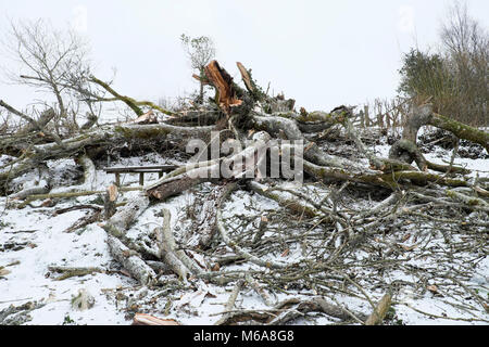 Carmarthenshire Wales UK, Friday 12 March 2018 UK Weather: Destructive high winds of Storm Emma fells a giant old - Stock Photo