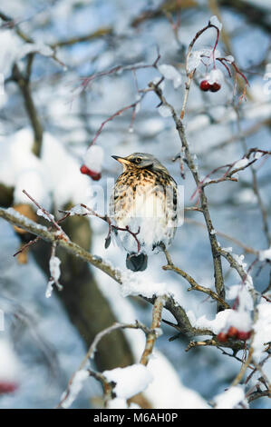 beautiful speckled thrush bird sitting on a branch with juicy berries of mountain ash in the garden