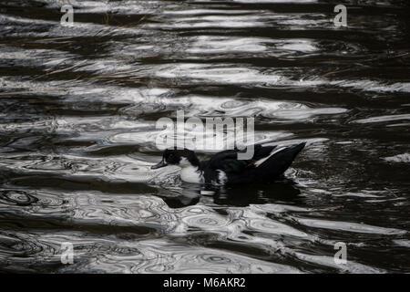 Black swedish duck floating across a pond - Stock Photo