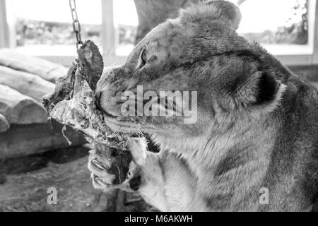 Female lion biting down on its zoo supplied meal while holding on to it with its huge claws (black and white)) - Stock Photo