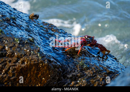 Red rock crab (Grapsus adscensionis) on wet rock, La Gomera, Canary Islands, Spain - Stock Photo