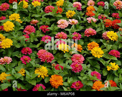 A lot of red, yellow, pink, salmon pink and marigold orange flowers - Stock Photo