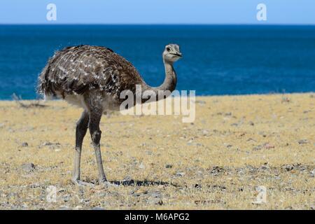 Nandu (Rhea americana) at the Atlantic Ocean, Bahia Bustamante, near Camarones, Chubut, Argentina - Stock Photo