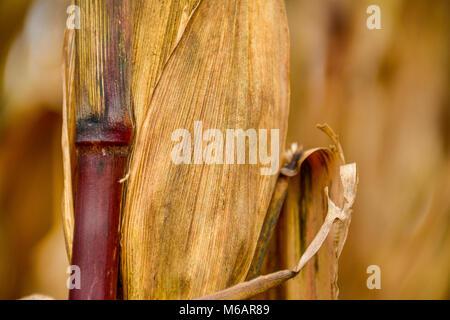 Corn leaf in autumn - Stock Photo