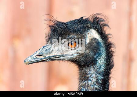 The head of a Emu Bird look forward 2 - Stock Photo