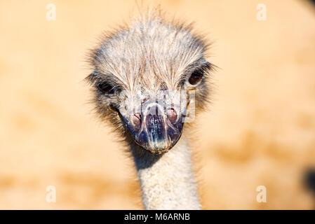 The head of a Emu Bird look forward - Stock Photo